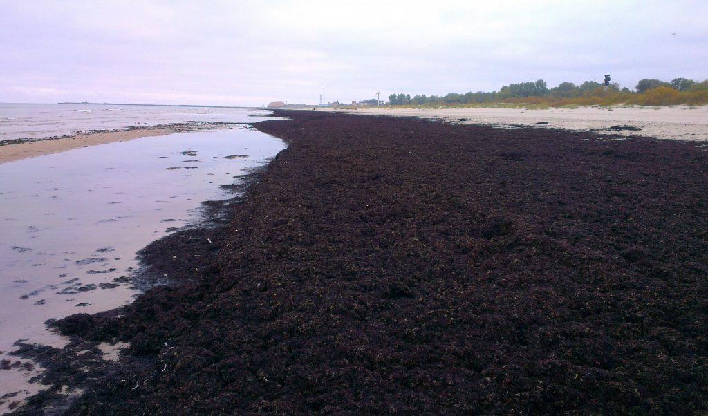 Jūras krastā izskalotas jūras zāles
