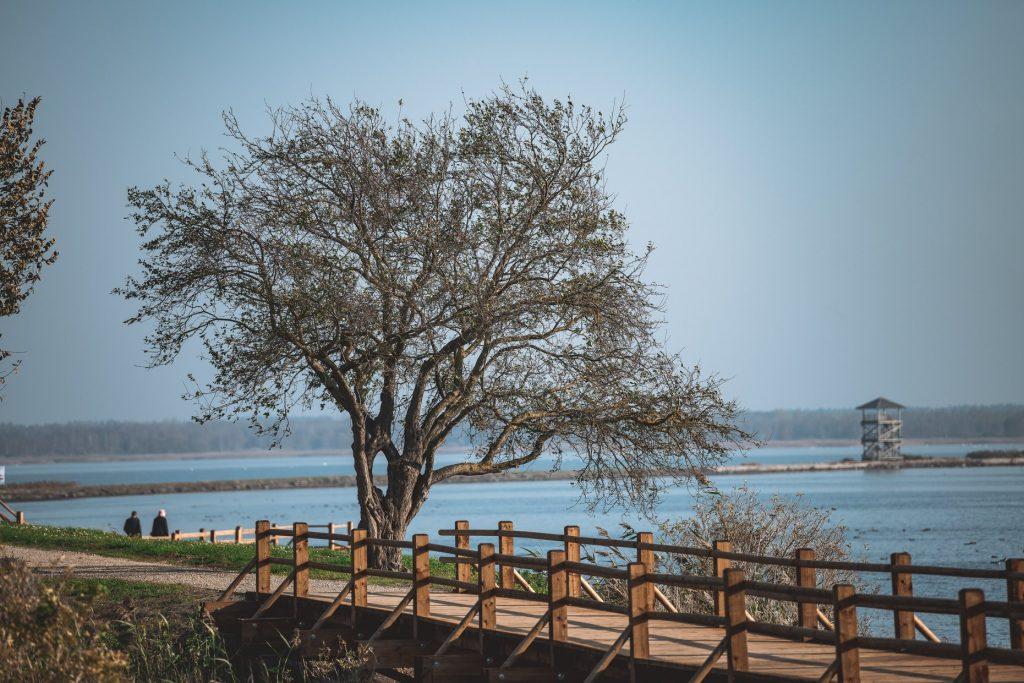 Liels koks bez lapām, priekšplānā koka laipas, tālumā ezera skats