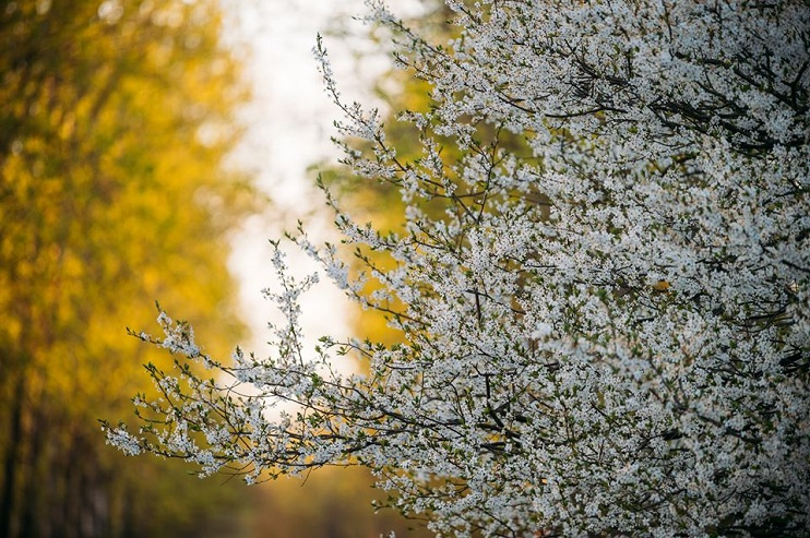 Ziedoši plūmju koku zari